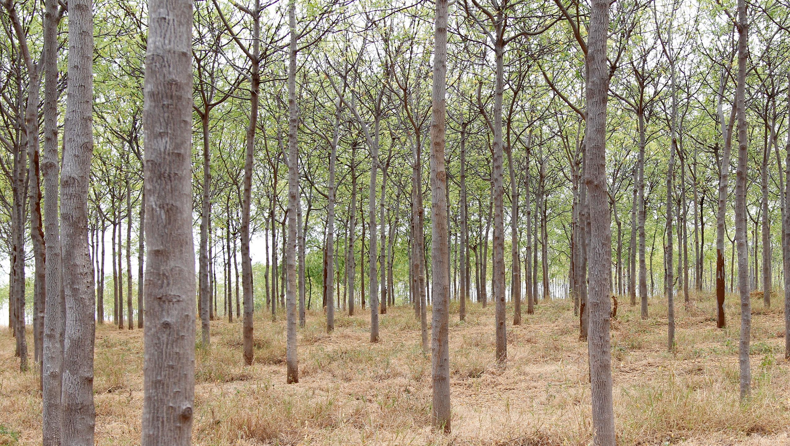Árvore Mukau da Better Globe
